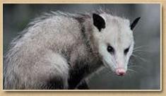 Poquoson Opossum Removal