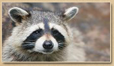 Raccoon Removal Newport News