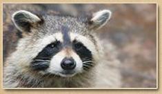 Raccoon Removal Newport News