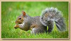 Suffolk Squirrel Removal