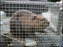 Beaver Control Poquoson