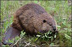 Beaver Rodent Control Hampton