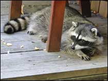 Williamsburg Raccoon Control Services