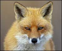 Residential Fox Control Suffolk
