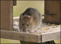 Gloucester Rat Control