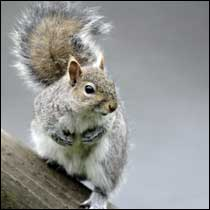 Gray Squirrel Control Services Hampton