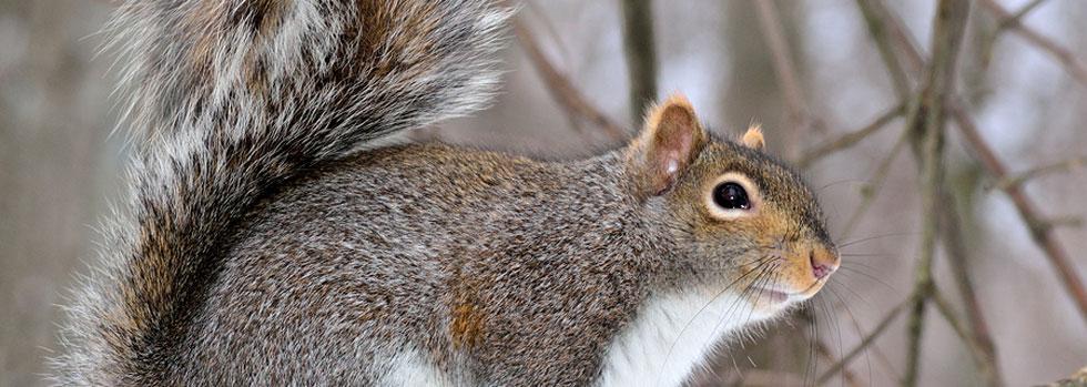 Norfolk Squirrel Control