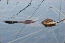 How can you control muskrats?
