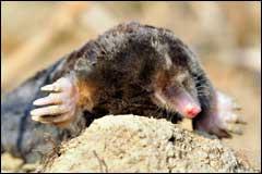 Residential Mole Removal Hampton