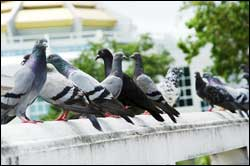 Hampton Roads Pigeon Control