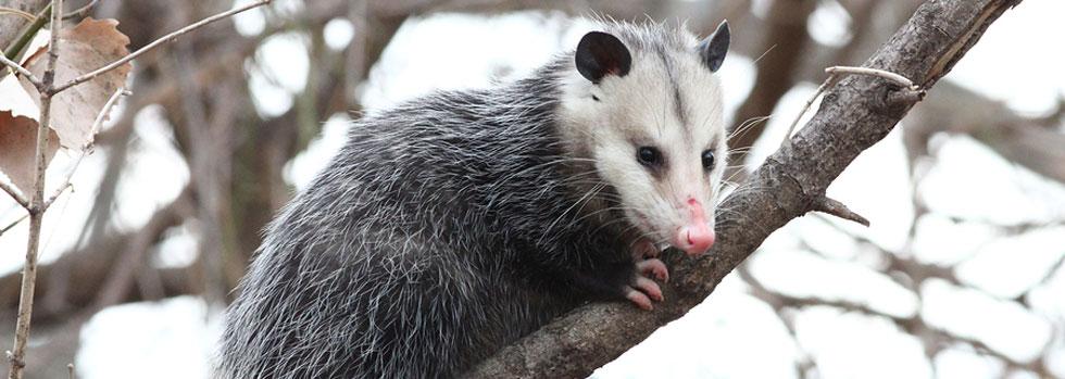 Newport News Opossum Removal
