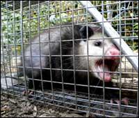 possum-control-norfolk