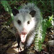 possum-removal-williamsburg