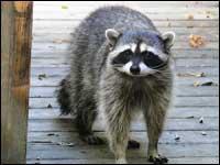 Raccoon Removal Hampton Roads