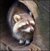 Raccoon Removal Chesapeake