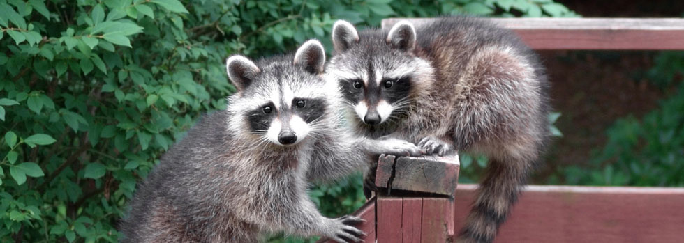Raccoon Control Services Hampton