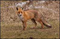Red Fox Management Yorktown