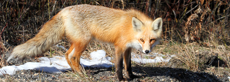 Virginia Beach Fox Control