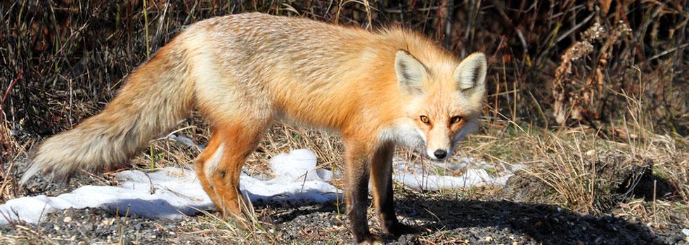 Virginia Beach Fox Control
