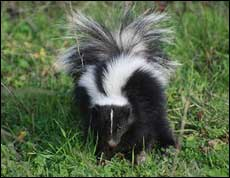 Residential Skunk Removal Company