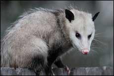 smithfield-opossum-removal-company