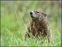 suffolk groundhog control company
