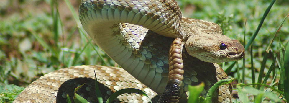 Suffolk Snake Removal Services
