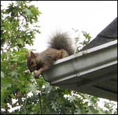 Chesapeake Squirrel Control Services